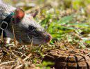 Грызуны специального назначения: как крыс учат искать мины